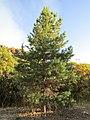 Rock Canyon tree (32595120148).jpg