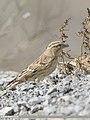 Rock Sparrow (Petronia petronia) (49182489056).jpg