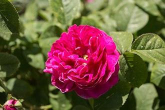 Rosa 'de Rescht' - Image: Rosa 'Rose de Rescht' IMG 0167