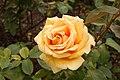 Rosa 'Valencia' IMG 4404.jpg