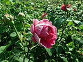 Rosa Lady of Megginch 2019-06-04 5940.jpg