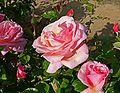 Rosa Peachblow 2.jpg