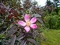 Rosa glauca 2016-05-31 1429.jpg