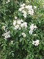 Rosa longicuspis0.jpg