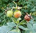 Rosa villosa fruit (08).jpg