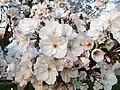 Rosales - Prunus padus - 20.jpg