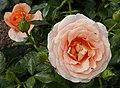 Rosarium Baden Rosa 'Bengali' Kordes 2011 02.jpg