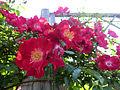Rose Cocktail バラ カクテル (8102805044).jpg