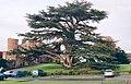 Rowton Castle Cedar - geograph.org.uk - 326498.jpg
