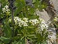 Rubiaceae - Galium cfr. anisophyllon.jpg