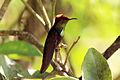 Ruby-topaz hummingbird (Chrysolampis mosquitus) male.jpg