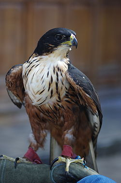 Rufous-bellied-hawk-eagle2.JPG