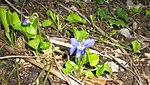 Ruhland, Grenzstr. 3, Duftveilchen im Garten, blau blühend, Frühling, 05.jpg