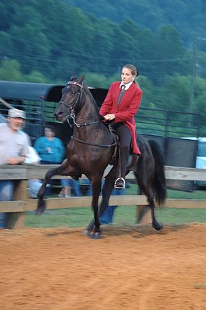 Tennessee Walking Horse performing running walk