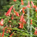 Russelia equisetiformis-IMG 3396.jpg