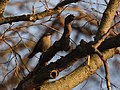 Rusty Blackbird at sunset (46331695012).jpg