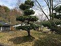 Ryokka Center Quercus phillyraeoides.JPG