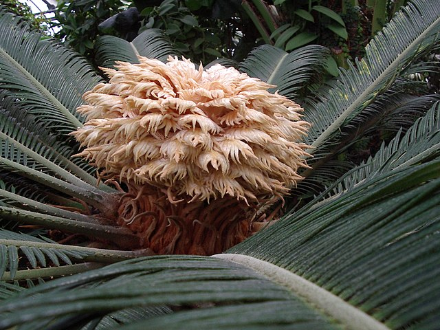 The female reproductive structure of the sago palm (Cycas revoluta)