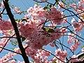 Saint Petersburg. Chinese Garden. Sakura tree2021 03.jpg