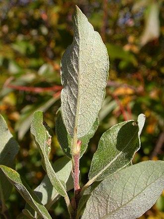 Salix bebbiana - Leaf underside