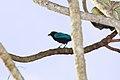 San Blas Jay (Cyanocorax sanblasianus) (3323626471).jpg