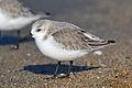 Sanderling (Calidris alba) (16257085895).jpg