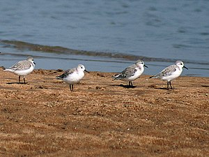 Flora and fauna of Odisha - Sanderlings at Chilka Lake