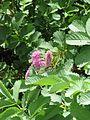 Sanguisorba magnifica - Flickr - peganum (1).jpg