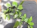 Sanjappa cynometroides-2-rosemalai-Kerala-India.jpg