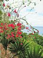 Sao Tome Mucumbli Bougainvillea 2 (16061575468).jpg