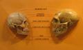 Sapiens neanderthal comparison en.png