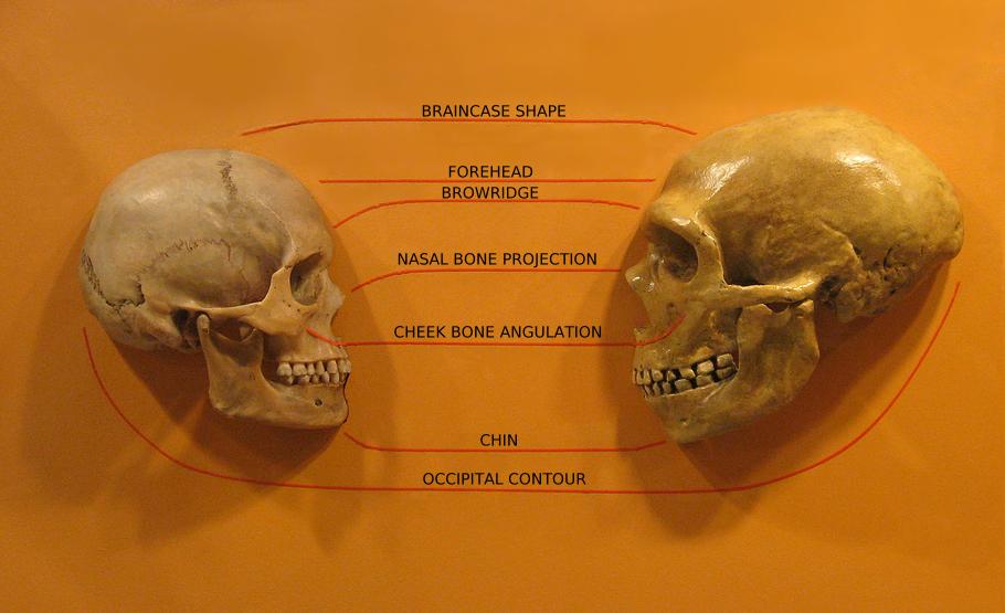 Sapiens neanderthal comparison en