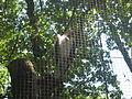 Sarcoramphus papa in Burgers' Zoo (Park).JPG