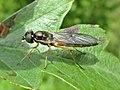 Sargus bipunctatus (Stratiomyidae) - (imago), Elst (Gld), the Netherlands.jpg