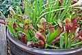 Sarracenia pitcher plant IMG 7973.jpg
