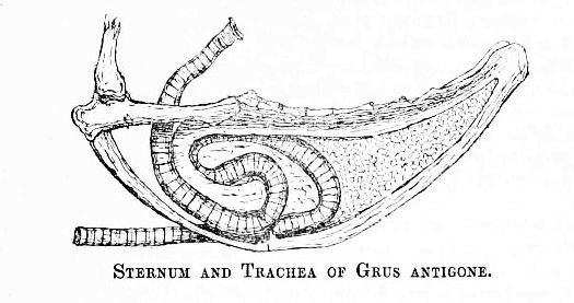 SarusTrachea