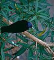 Satin Bowerbird (Ptilonorhynchus violaceus) male (10086625123).jpg