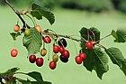 Sauerkirschenfrucht Prunus cerasus 2