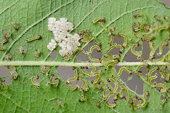 Sawflies larvae (31992433782).jpg