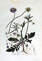Scabiosa columbaria — Flora Batava — Volume v3.jpg