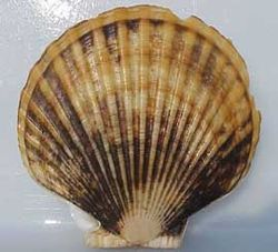 Scallop weathervane.jpg