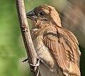 Scaly-breasted Munia (Lonchura punctulata) in Hyderabad, AP W2 IMG 1332.jpg