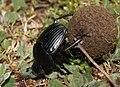 Scarabaeus-laticollis-mistkäfer.jpg