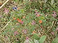 Scarlet Pimpernel in a cut cornfield - geograph.org.uk - 37031.jpg