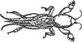 Schemazeichnung neocortilla hexadactyla.png