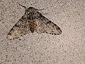 Schiermonnikoog - Peper-en-zoutvlinder (Biston betularia) v2.jpg