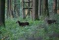 Schlangen - 2014-07-31 - Hohlestein, Ovis orientalis musimon (08).jpg