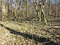 Scilla drunensis sl46.jpg