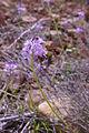 Scilla obtusifiolia0286 01.jpg