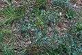 Scutellaria galericulata-Scutellaire casquée-20170907.jpg